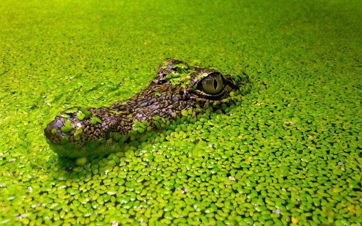 coccodrillo spunta da un tappeto di lenticchie d'acquaz usate per verificare l'efficacia dell'omeopatia